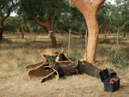 Снятую кору дуб восстанавливает за 9 лет