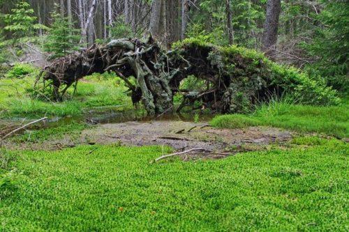 Лесной мох сфагнум